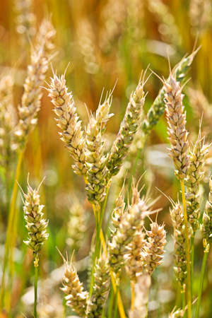 A macro view of unripe wheat heads