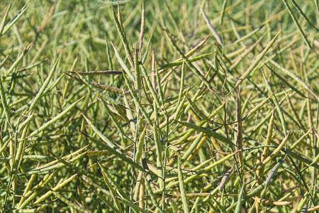 Closeup of green canola seed pods in summer Banco de Imagens - 118477128