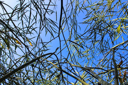 Looking upwards through green canola with a blue sky Banco de Imagens - 118477134