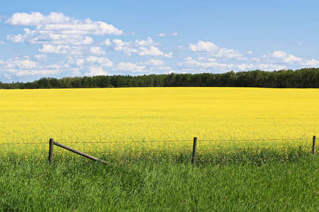 View of fence and a yellow canola field against a blue sky Banco de Imagens - 118477142