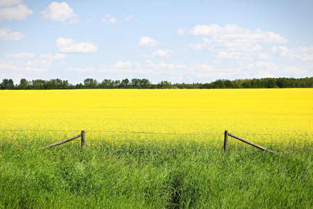 View of fence and a yellow canola field against a blue sky