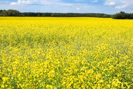 A yellow canola field in full bloom Banco de Imagens - 118477144