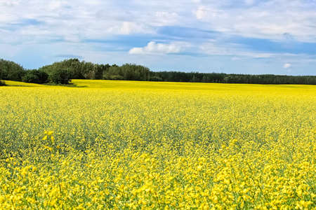 View of a canola field in full bloom with a cloudy sky Banco de Imagens - 118477145
