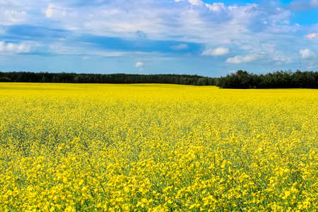 View of a canola field in full bloom with a cloudy sky Stock Photo