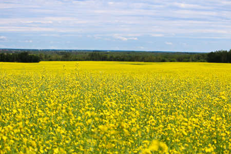 View of a canola field in full bloom with a cloudy sky Banco de Imagens