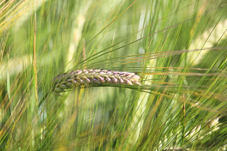 A macro view of a single green barley head Banco de Imagens - 119273469
