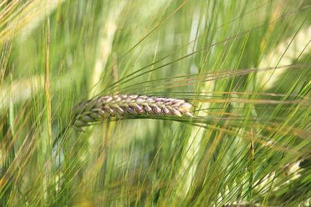 A macro view of a single green barley head