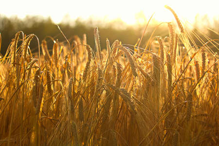 Side view of heavy barley heads bending highlighted by a sunset