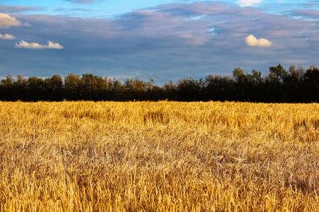 Deep blue clouds above a golden barley field Banco de Imagens - 119273483