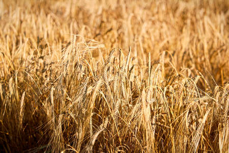 A detailed background of ripe grain heads Banco de Imagens - 119273486