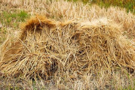 A stook of barely piled together for harvest. Banco de Imagens