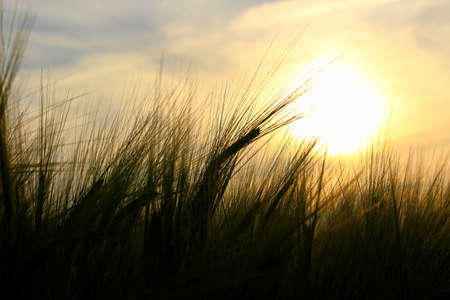 The awns of barley silhouetted against a setting sun. Banco de Imagens - 119273497