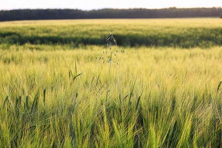A lone stalk wild oats in a field of barley. Banco de Imagens - 119273498