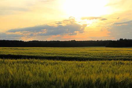 Dusk clouds over a green grain field.