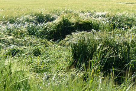 Stalks of barley damaged by a storm.