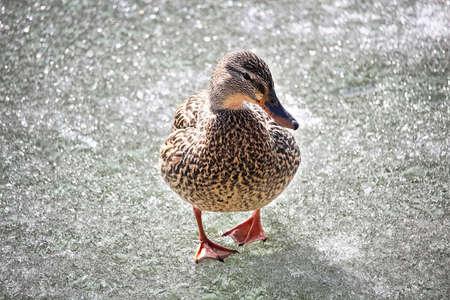 A female mallard walks on frozen ice. Banco de Imagens - 119273507