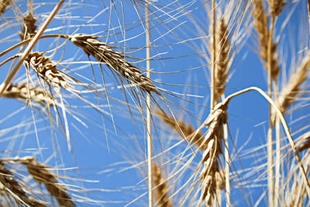 View looking up at a blue sky through barley heads.