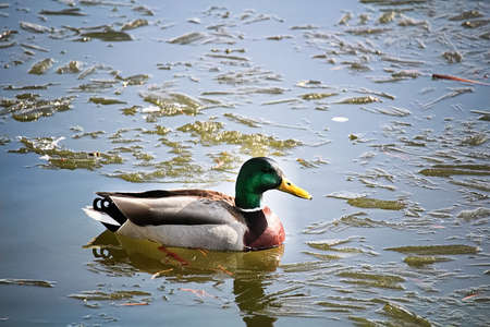 A side view of a male mallard swiming in icy water. Banco de Imagens - 119273516