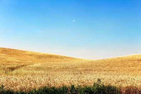 A morning moon above a prairie barley field. Banco de Imagens