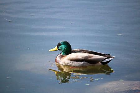 A male mallard swims in calm water.