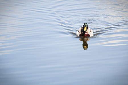 A male mallard swims toward the camera. Banco de Imagens - 119273524