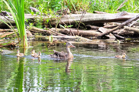 A mallard and her ducklings swim in green reflective water.
