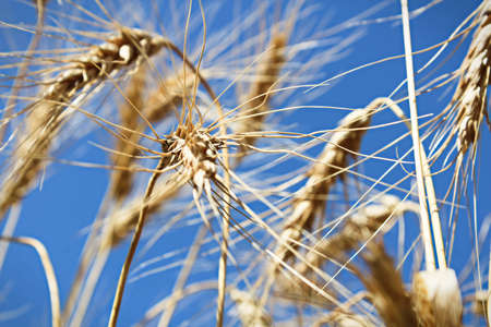 View looking up at a blue sky through barley heads