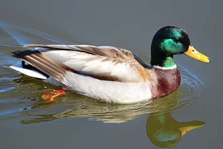 A closeup view of a mallard with its reflection in the water Banco de Imagens - 119273555