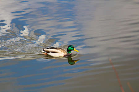 A male mallard with its reflection swims in water