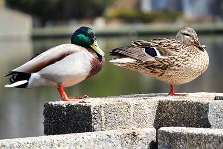 A male and female mallard pair stand on a cement wall