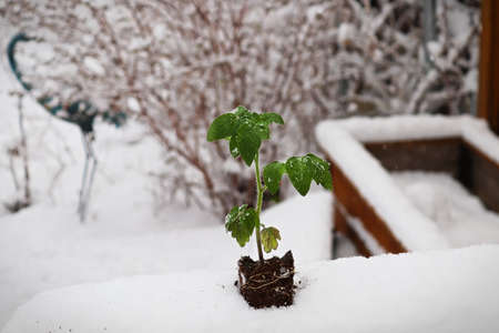 A tomato plant seedling placed in the snow Reklamní fotografie