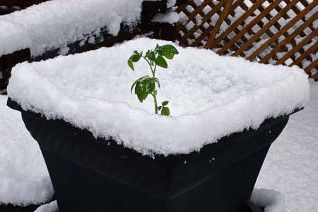 A tomato planted in a pot covered in snow