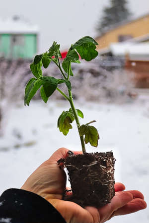 A hand holding a tomato seedling with a snowy background