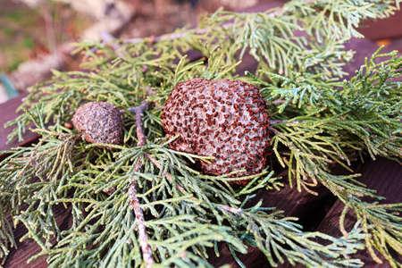A gall of Juniper Hawthorn Rust on a branch of Juniper