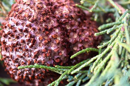 Closeup of Juniper Hawthorn Rust on Cedar Banco de Imagens
