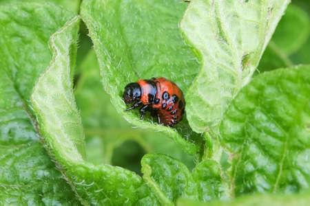 Closeup of a Colorado Beetle larvae in a potato leaf