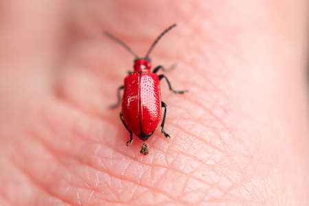 A lily beetle excrementing on a hand