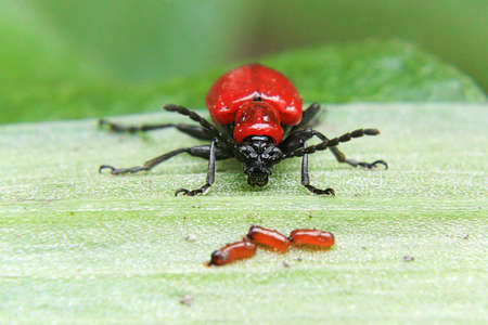 Closeup view of a scalet lily beetle and eggs Reklamní fotografie