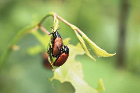 Closeup of two Aspen Leaf Beetles reproducing Banco de Imagens