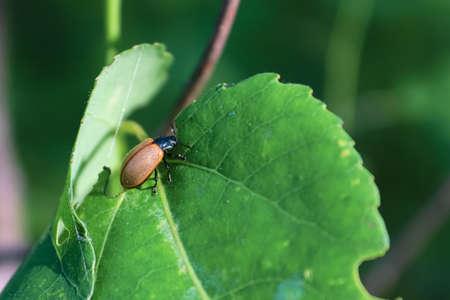 Closeup of an Aspen Leaf Beetle on a leaf Banco de Imagens