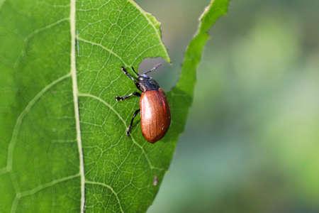 Closeup of an Aspen Leaf Beetle eating