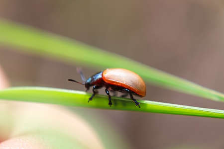 The macro side view of an Aspen Leaf Beetle on grass