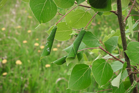 A black poplar tree with Leaf Rollers on it