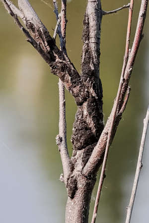 Closeup of a canker growth on the truck of a tree