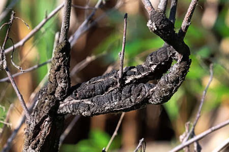 Closeup of Black Knot covering a branch
