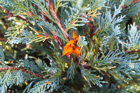 An orange mass of Hawthrown Rust in a juniper tree