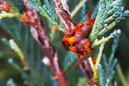 A mass of Juniper Hawthorn Rust after it has started drying up Stock Photo