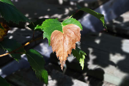 The puffed up birch leaf infected by leafminers