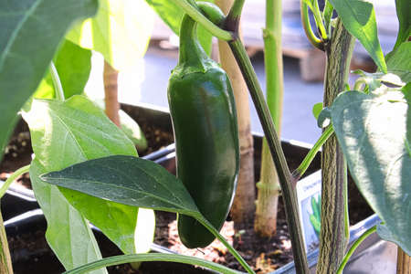 A green jalapeno pepper growing on a vine