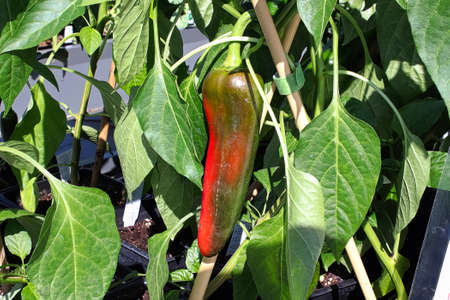 An anaheim pepper turning bright red on the plant